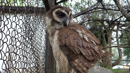 An Asian owl turning its face and blinking Eyes