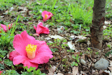 Scattered was camellia