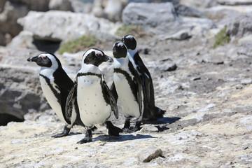 Jackass Penguins. South Africa