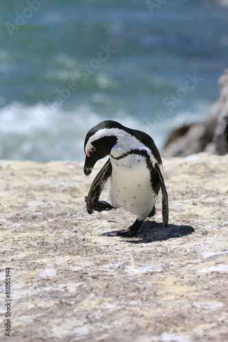 In de dag Pinguin Jackass Penguin. South Africa