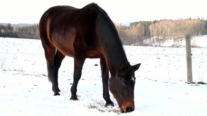 Horses grazing on winter