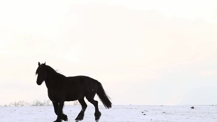 Friesian horse runs gallop in snow