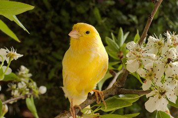 Springtime. canary bird on the branch.