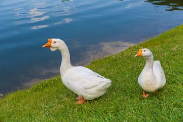 goose white