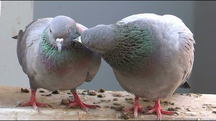 A Pigeon Pair