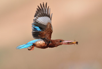 Flying White Throated Kingfisher