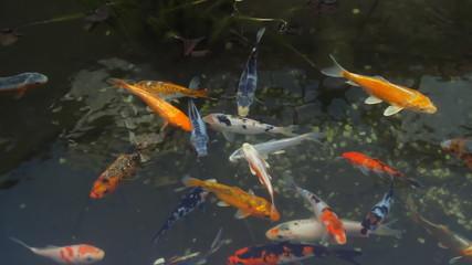 Koi Fish Pond Overhead View