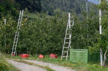 frutteto melo meli raccolta mele