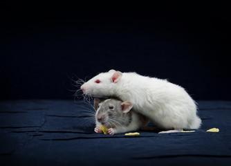 Decorative rat - very cute pets.