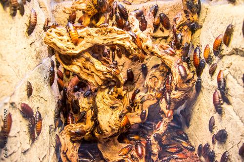 Leinwanddruck Bild Kakerlaken