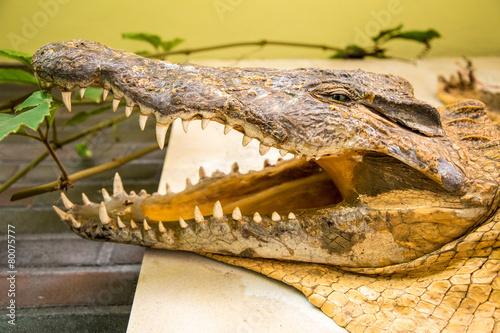 Foto op Plexiglas Krokodil Krokodilskopf