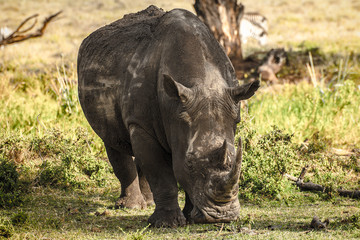 White Black Rhino coming head on