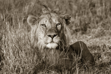 Lion looking straight in the eye