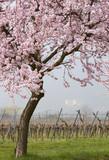 Blühender Mandelbaum im Weinfeld