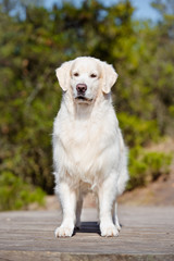 golden retriever dog standing outdoors