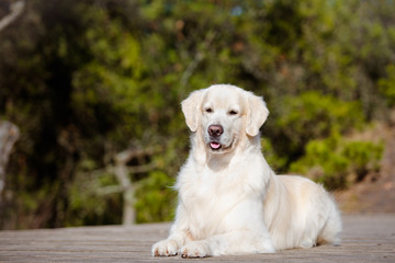 cream white golden retriever dog