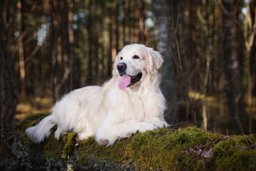 golden retriever dog lying down in the forest