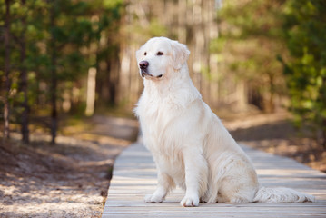 golden retriever dog outdoors