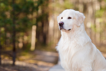 beautiful golden retriever dog portrait