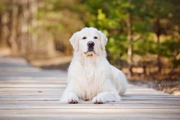 golden retriever dog lying down on a wooden road