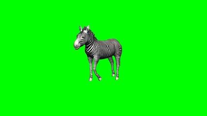 zebra runs - 2 different views - without shadow - green screen