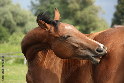 Leinwanddruck Bild Brown horse scratching itself at the pasture
