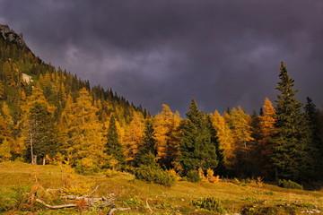 Autumn larchs before storm