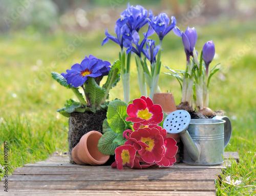 Fotobehang Krokus fleurs printanières