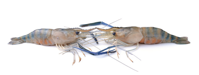 Frash shrimp, prawn on white