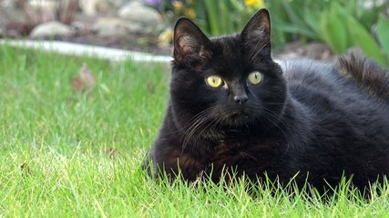 Schwarze Katze liegt im Gras