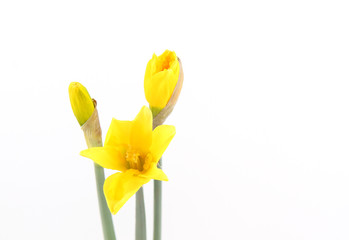 Yellow Daffodils with buds isolated on white