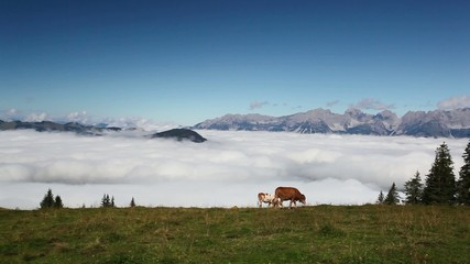 White and brown cows in the high mountain pastures