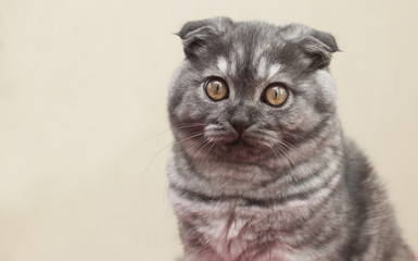 Scottish Fold blue-gray color with amber eyes.