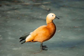 Wild duck called ogar in melted lake surface