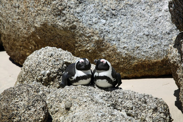 Jackass Penguin. South Africa
