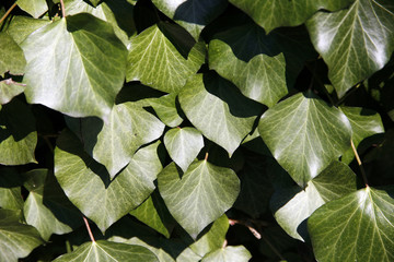 Leaves of fresh green ivy as a background
