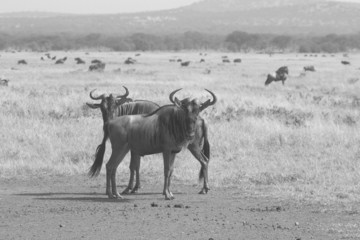 Couple of blue wildebeests in black and white