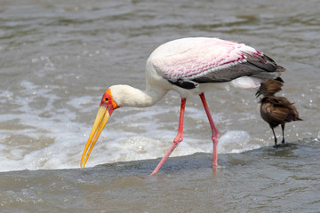 Yellow-billed Stork fishing near a Hamerkop bird