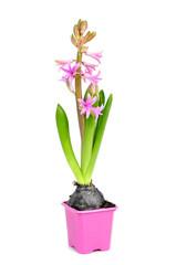pink hyacinth plant