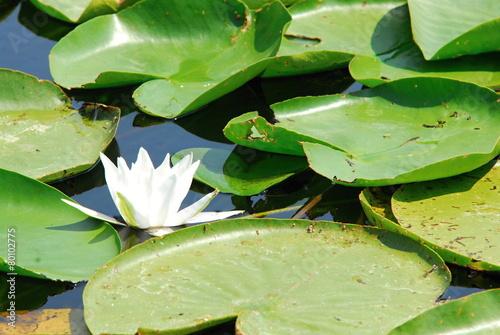 Aluminium Water planten waterlily