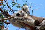 Koala bear climbing on eucalyptus tree