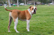 American Bulldog doing an impression of Popeye - 80105552