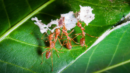 Ants lifting capacity of large pieces