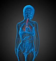 3D medical illustration of the  bronchi