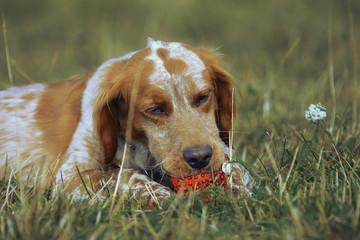 Рыжий пёс и мячик