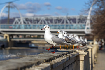 Gulls on parapet of urban river