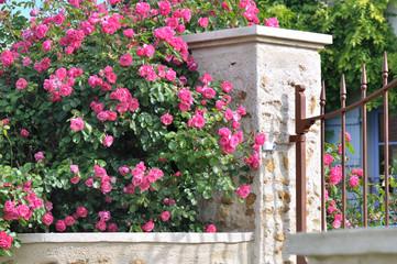 haie de beaux  rosiers