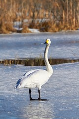 Swan standing on ice