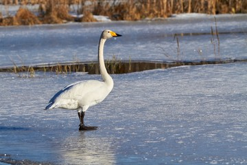 Swan standing on ice in the winter