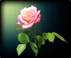 pink rose flower with green leaves on dark background